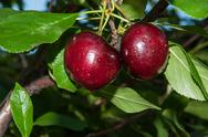 Stock Photo of the fruit of sweet cherry or prunus avium