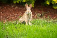 Young healthy wild rabbit eating fresh grass from yard Stock Photos