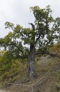 Oak tree old - stock photo