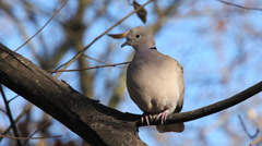 Eurasian collared Dove / Tourterelle turque / Streptopelia decaocto 02 Stock Footage