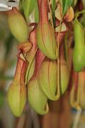 Nepenthes, Pitcher Plant,Monkey Cup Stock Photos