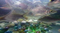 Lampam Sungai (River Carp) Fish Freshwater Tank Underwater Video Stock Footage