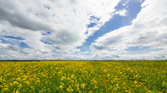 Beautiful Yellow Oilseed Rape Flowers in the Field Stock Footage