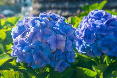 Two blue hydrangeas blooms Stock Photos