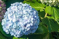 soft blue hydrangea bloom - stock photo