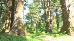 Stock Video Footage of Giant Evergreens in Forest