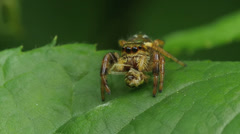 Golden Jumping Spider (Paraphidippus aurantius) Male 1 Stock Footage