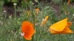 Orange flowers (Eschscholzia californica) Stock Footage
