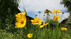 Yellow flowers on a background of a country house Stock Footage