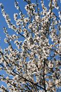 almond tree in bloom - stock photo