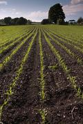 Crop field with corn seddlings in early spring Stock Photos