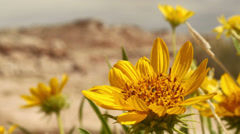 Desert Flower with Insects in Slow Motion Stock Footage