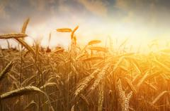 Stock Photo of golden wheat field and sunset