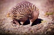Stock Photo of echidna