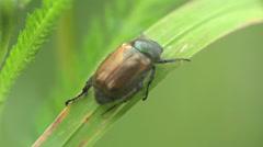 Braun beetle bug donacinae Criocerini insect macro 4k Stock Footage