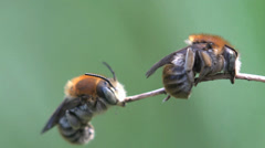 Two young Bee insect sitting on grass macro Stock Footage