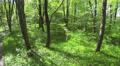 slow  Flight in spring bright  wood. Aerial Footage