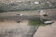 Stock Photo of black-winged stilt (himantopus himantopus).