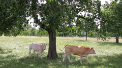 Cows in the cherry orchard. Stock Footage