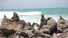 Marine Iguanas taking Sunbathe Stock Footage