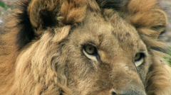 Stock Video Footage of lion resting in nature