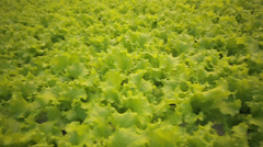 Lettuce in greenhouse hydroponics 4 - stock footage