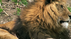 Lion resting in nature Stock Footage