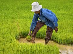 Farmer Working on Rice Field, Siem Reap, Cambodia Stock Photos