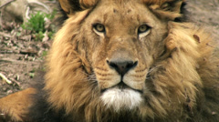 lion resting in nature - stock footage
