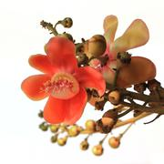 cannonball tree isolated on white background - stock photo