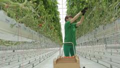 Woman agronomist collects tomatoes in the greenhouse hydroponics 2 Stock Footage