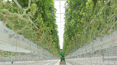Woman agronomist collects tomatoes in the greenhouse hydroponics - stock footage