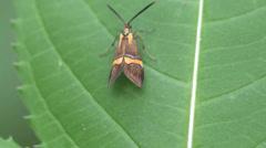 Butterfly Glyphipterigidae macro 4k Stock Footage