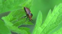 Braun beetle bug donacinae insect macro 4k Stock Footage