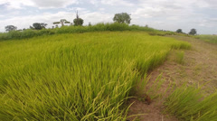 Green rice field with breeze Stock Footage