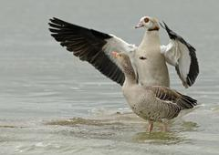 wild goose, Anser anser, and Egyptian goose, Alopochen aegyptiacus - stock photo