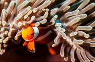 Stock Photo of clown-fish