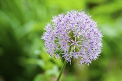 Stock Photo of Great lilac-purple spherical allium, Allium hollandicum