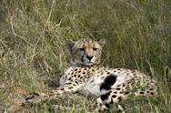 Stock Photo of Africa, Namibia, Okonjima Nature Reserve, Cheetah, Acinonyx Jubatus, lying
