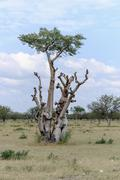 Africa, Namibia, Etosha National park, baobab tree, Adansonia - stock photo