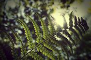 Stock Photo of Leptosporangiate fern, Polypodiopsida, Pteridopsida, Fern leave against the sun