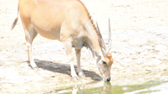 Wild animal drinking from a pond in a city zoo Stock Footage