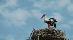 White stork (Ciconia ciconia)  sitting on a nest Stock Footage