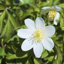Stock Photo of Freiburg, Wood anemone, close up