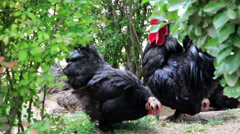 Roosters in farm land Stock Footage