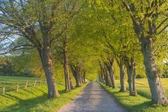 Germany, Mecklenburg-Western Pomerania, Ruegen, Tree-lined path - stock photo