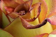 Stock Photo of Water drops on petals of orange rose, Rosa, close-up