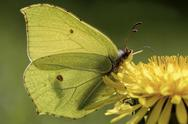Stock Photo of Brimstone butterfly, Gonepteryx rhamni, sitting on plant