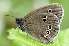Ringlet butterfly, Aphantopus hyperantus, sittig on plant Stock Photos