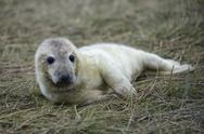 Stock Photo of Grey seal, Halichoerus grypus, young animal, lying on meadow